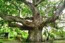 hipokrat çınar ağacı